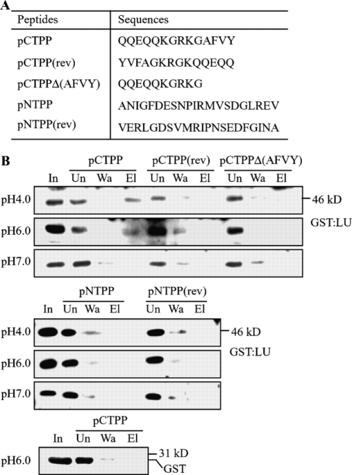 The LU of AtRMR1 binds to the CTPP peptide of phaseolin. (A) Peptide sequences. (B) In vitro binding assay. The in vitro binding assay was performed as described in Materials and methods. Peptides immobilized on Sepharose beads were incubated with purified GST-LU or GST alone under different pH conditions at 4°C. Sepharose beads were washed three times with binding buffer, and bound proteins were eluted three times with elution buffer. The unbound (Un), wash (Wa), and eluted (El) fractions were analyzed by Western blot analysis using anti-GST antibody. In, input GST-LU.