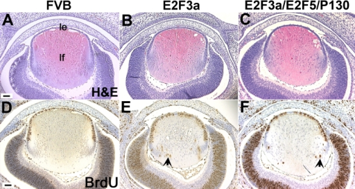 E2F3a/E2F5/p130 triple transgenic lens histology and BrdU incorporation assays. A-C: At E15.5, when compared with a non-transgenic FVB lens (A), the triple transgenic lens showed a modest phenotype with some displaced fiber cell nuclei(C) in contrast to the many fiber cell nuclei seen in the E2F3a single transgenic lens (B). Abbreviations: le, lens epithelium; lf, lens fiber. D-F: The number of BrdU positive fiber cells (arrow head) in the triple transgenic lens (F) decreased by about 50% when compared to the E2F3a single transgenic lens (E). Scale bars=500 μm.