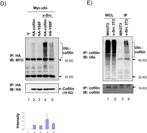 Degradation and ubiquitination of cofilin induced by v-Src phosphorylation at Y68 residue(A, B) 293T cells were co-transfected with Myc-tagged cofilin, Y68F, or S3A mutant, and HA-tagged v-Src or vector control as indicated. Lysates were then prepared and analyzed by western blotting with anti-Myc, anti-HA, or anti-vinculin, as indicated. In panel B, cells were treated with cycloheximide and MG132 or DMSO as control for 4 hrs before lysis as described in Experimental Procedures. (C) NIH3T3 and v-Src-transformed-NIH3T3 (v-Src-3T3) cells were treated with nothing (lanes 1 and 2), cycloheximide with DMSO (lanes 3 and 4) or with MG132 (lanes 5 and 6) for 4 hrs. Lysates were then prepared and analyzed by western blotting with anti-cofilin (upper) and anti-vinculin (lower). Molecular weight markers are indicated on the right. (D) 293T cells were co-transfected with HA-tagged cofilin or Y68F mutant, and Myc-tagged ubiquitin and Flag-tagged v-Src or vector control as indicated. Cells were treated with MG132 for 4 hrs and then lysates were prepared and immunoprecipitated with anti-HA antibody, followed by western blotting with anti-Myc (top) or anti-HA (middle). The Ubiquitinated cofilin bands (marked on the right) were quantified by densitometer from 3 independent experiments and relative intensity was shown with the mean + S.E (bottom). (E) NIH3T3 and v-Src-3T3 cells were treated with MG132 for 4 hr and lysates were prepared and immunoprecipitated with anti-cofilin antibody, followed by western blotting with anti-ubiquitin (upper) or anti-cofilin (lower). The ubiquitinated cofilin bands are marked on the right. Molecular weight markers are indicated on the right.