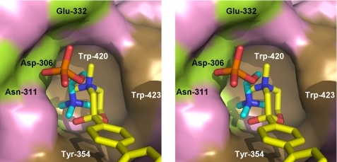 Close-up stereo view of HC-3 and Pho-Cho superimposed on the choline-binding pocket. The structure of the ChoKα·Pho-Cho complex was (PDB code 2CKQ) overlaid on the crystal structure of the ΔN-ChoKα1·ADP·HC-3 complex (pink surface), and the ligands shown in the comparison reflect only the protein superposition. Both Pho-Cho and HC-3 are represented in stick mode and are colored cyan and yellow, respectively. Some of the key residues forming the choline-binding pocket are indicated, and the hydrophilic residues, including a catalytic base (Asp-306), and the hydrophobic residues are shown in green and brown surfaces, respectively.