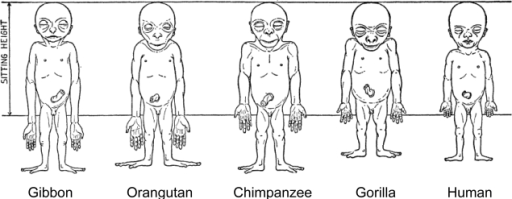 schultz's sketches of the body proportions of hominoi | open-i, Muscles