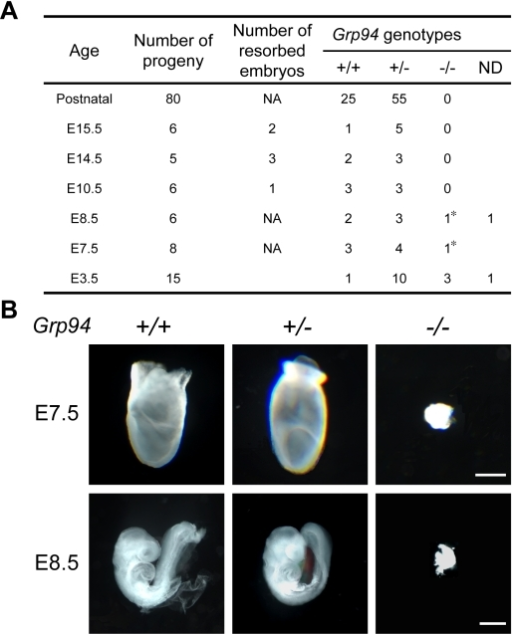 Grp94 deficiency results in embryonic lethality.(A) Summary of genotypes of embryos at different developmental stages and postnatal progenies from interbred Grp94+/− mice. ND, could not be determined by nested PCR. NA, not applicable. (*) denotes deformed embryos. (B) Morphologies of Grp94+/+, +/−, and −/− embryos at E7.5 and E8.5. Embryos were genotyped through PCR. Scale bars represent 200 µm (upper panel), 300 µm (lower panel).
