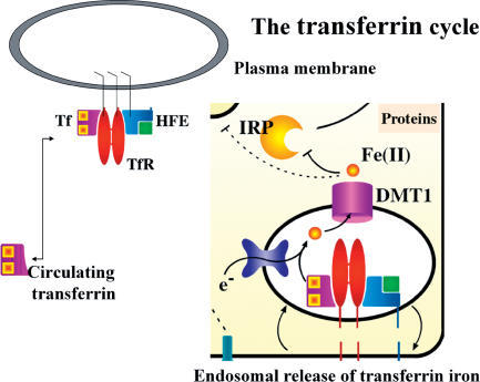 Binding of TransferrinTransferrin (purple rhombus) binds two ferric iron atoms (orange squares) and circulates in the bloodstream until it comes into contact with transferrin receptors, which pair together to form dimers (red torpedo shapes) on the plasma membrane surface of cells. A complex of HFE (blue square) and β2-microglobulin (green square) binds to the transferrin receptor. Notably, the binding site for HFE overlaps the potential binding site of transferrin. Since it is likely that HFE associates with transferrin receptors shortly after synthesis, before the complex arrives at the plasma membrane, HFE can thus potentially prevent iron uptake through the transferrin receptor. Once transferrin binds the transferrin receptor (assuming that both potential binding sites are not blocked by HFE), the complex internalizes in an endosome, where acidification promotes release of ferric iron, and reduction by addition of an electron (e–) to ferrous or diferric iron allows transport of free iron from the endosome, using the divalent metal transporter, DMT1, to the cytosol. Upon release into the cytosol, iron can be incorporated into proteins, and its presence can be sensed by iron regulatory proteins (IRPs).