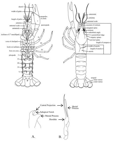 Schematic Diagram Of Generalized Male Crayfish Illustra Open I