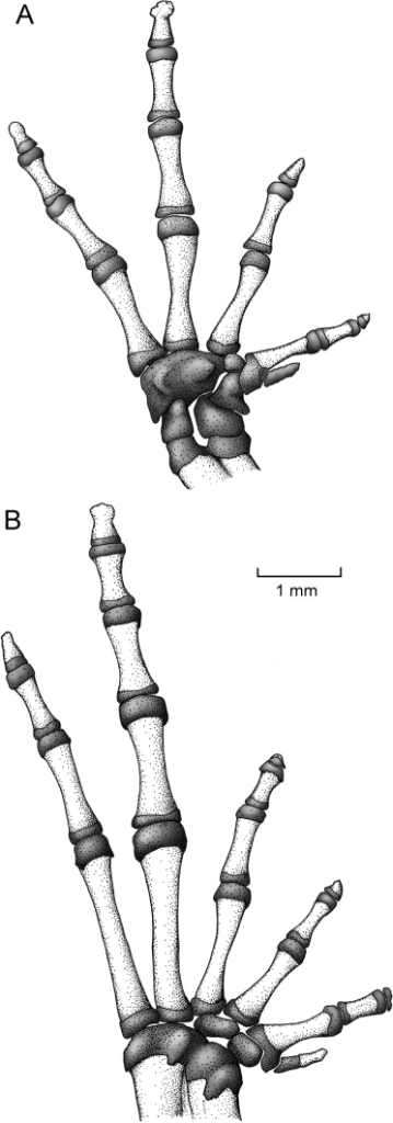Osteology of hand and foot of Osornophryne simpsoni sp. n. in ventral view; adult male, QCAZ 45899.