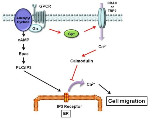 Ca 2+ signal cross talk between Epac and Gβγ. Activation of GPCR releases two signaling molecules, Gα and Gβγ. Gα activates cAMP production, leading to Ca 2+ release from IP3 receptor in the ER via Epac/PLC/IP3 pathway. Ca 2+ release from IP3 receptor induces cell migration. On the other hand, Gβγ stimulates Ca 2+ influx from the extracellular space, leading to activation of calmodulin and the following inactivation of IP3 receptor. Finally, Gβγ inhibits Epac-induced Ca 2+ release from the ER, leading to inhibition of cell migration.
