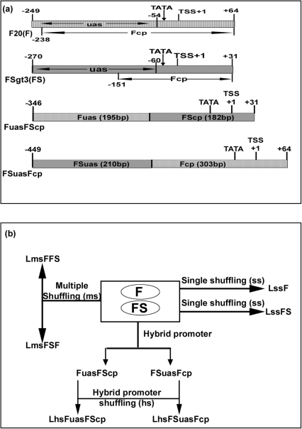 "A schematic map of the parent promoters (F and FS), hybrid promoters (FuasFScp and FSuasFcp) and DNA shuffling strategy.(a) At the top, the coordinates of the respective promoters Figwort mosaic virus (FMV) full-length transcript promoter (F, −249 to +64), FMV sub-genomic transcript promoter (FS, −270 to +31), and two hybrid promoters (FuasFScp, −343 to +31; and FSuasFcp, −449 to +64), the relative position of the TATA box, transcription start site (TSS, +1), upsteam activation sequence (uas) and core-promoter (cp) regions marked with arrow were shown. (b) A schematic presentation of creating promoter libraries by DNA shuffling of single (F or FS), multiple (F and FS) and hybrid promoters (FuasFScp, FSuasFcp) was presented. The construction strategies of generating hybrid promoters (FuasFScp and FSuasFcp), the single shuffled libraries (LssF and LssFS), multiple shuffled libraries (LmsFFS and LmsFSF), and hybrid promoter shuffled libraries (LhsFuasFScp and LhsFSuasFcp) were described in ""Materials and Methods"" section."