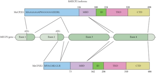 MECP2 gene and protein isoforms. Schematic illustration of the gene structure of MECP2 and the different domains of the two protein isoforms, MeCP2E1 and MeCP2E2. The primary amino acid composition of the N-terminus of MeCP2E1 and MeCP2E2 is depicted.