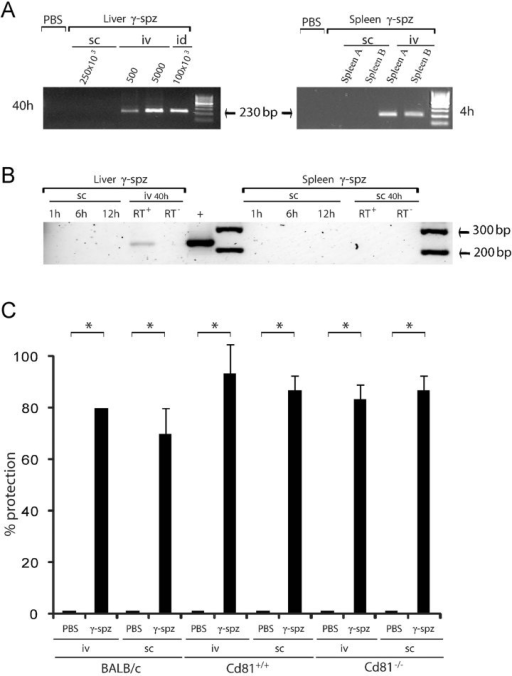 Sterile protection acquired by γ-spz immunization regimens associated with undetectable hepatic parasitesRT-nPCR analysis of cDNA derived from total RNA purified from liver or spleen samples collected from mice inoculated with γ-spz s.c. (250 × 103), i.d. (100 × 103), or i.v. (5 × 102 or 5 × 103), 4 h post inoculation for the spleen and 40–44 h post-inoculation for the liver.Subcutaneous with 100 × 103 γ-spz 1, 6, 12 or 40 h post inoculation or i.v. with 5 × 103 γ-spz 40–44 h post inoculation. RT− is a control for DNA contamination prepared in the absence of the reverse transcriptase. The + is a positive control for the amplification reaction from genomic P. yoelii 265BY DNA. Control mice received PBS.BALB/c, Cd81+/+, or Cd81−/− mice were immunized s.c. or i.v. with PBS (controls) or three doses of 100 × 103 γ-spz at 1-weekly interval. Five days after the last immunization, 30 × 106 splenocytes were transferred into each naïve mice, and these were challenged 2 days later by i.d. inoculation with 5 × 103 PyWT. The naïve recipients adoptively transferred with the splenocytes of control mice became patent at day 4–5 after PyWT challenge. Blood stage parasites could not be detected in any of the naïve recipients of splenocytes from immunized animals in Giemsa-stained blood smears collected three times a week from days 4 to 14 post sporozoite challenge. Results expressed as mean ± standard deviation (SD). All experiments were repeated three times (n = 3) with 10 mice per group at each time. *p = 0.0005 by Kruskal–Wallis test with Dunn's post-test.