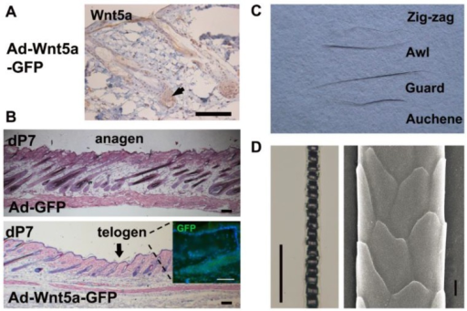 Morphological comparison in pelage hair after treatment with Ad-Wnt5a-GFP. (A) Wnt5a staining after Ad-Wnt5a-GFP treatment (brown). (B) Hematoxylin and eosin staining of dP7 skin after Ad-GFP or Ad-Wnt5a-GFP treatment. Arrows indicate the central region of injection. GFP staining was shown in the insert. (C) Four pelage hair types were present in the Ad-Wnt5a-GFP group. (D) Hair shaft from the Ad-Wnt5a-GFP group was examined by light microscopy and SEM. Bar=50 μm.