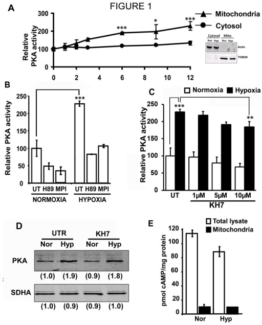Hypoxia induces mitochondrial PKA activity in RAW 264.7 macrophages.A) PKA activity in isolated mitochondrial and cytosol of RAW 264.7 macrophages subjected to hypoxia for 0-12h. The activity of the corresponding normoxic fraction was taken as 100% activity. The inset shows immunoblot of representative mitochondrial and cytosolic fractions for cross contamination. Blot was probed with antibodies to Actin and TOM20 as markers of cytosol and mitochondria. 30µg of mitochondrial and cytosolic proteins were loaded in each well. B) PKA activity in mitochondria isolated from normoxic and hypoxic cells. H89 (1µM) and MPI (1µM) were added at the start of hypoxia (n=3) C) Effect of KH7 on hypoxia induced mitochondrial PKA activity. RAW 264.7 cells were treated with indicated concentrations of KH7 at the start of hypoxia (n=3) D) Immunoblots showing level of PKAα in mitochondria isolated from normoxic and hypoxic cells with or without KH7 (10µM) treatment. Values in parantheses underneath each blot are relative intensities of the bands. Blot is representative of two separate experiments. E) cAMP levels in 10µg of whole cell lysates and isolated mitochondria from normoxic and hypoxic cells. The difference in cAMP level between normoxic and hypoxic total lysates was not significant. *, p<0.01; **, p<0.005; ***,p<0.001.