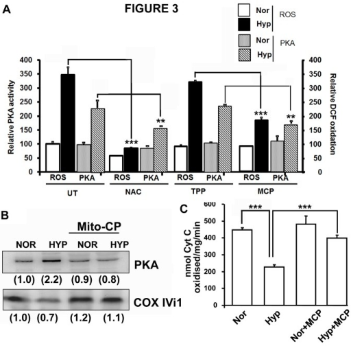 Effects of antioxidants on mitochondrial PKAα subunit level and activity.RAW 264.7 macrophages were subjected to hypoxia for 12h with or without addition of 1µM Mito-CP or 10mM N-Acetyl Cysteine. At the end of hypoxia, part of the cells was used for measuring ROS production by DCFDA oxidation and the remaining for mitochondria isolation. Protein was estimated by Lowry's method. A) PKA activity and ROS production (n=3). After hypoxia cells were plated in 96 well plate in phosphate buffered saline and incubated with DCFDA (1µM) for 15 minutes. Fluorescence was measured at Excitation 525nm and Emission 575nm. Corresponding PKA activity was measured in 10µg of mitochondrial protein, B) PKAα protein level. 30µg of mitochondrial protein was separated on SDS PAGE and transferred to nitrocellulose membrane. PKAα and CcO IVi1 antibodies were used for immunoblotting. Relative band intensities are given in parantheses. The blot is representative of two separate experiments. C) Effect of Mito-CP on CcO activity under hypoxia. CcO activity was measured with 10µg of mitochondria (n=4). **, p<0.005.