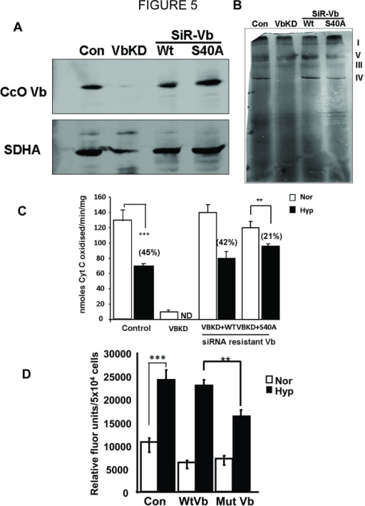 Reconstitution with phosphorylation resistant CcO Vb subunit attenuates hypoxia induced CcO dysfunction and ROS production.siRNA resistant (SiR) - wild type (WT) or S40A mutant CcO Vb were expressed in RAW 264.7 macrophages with CcO Vb knockdown (VbKD). A) Immunoblot of cell lysates showing CcO Vb levels in control, CcO Vb knockdown (VbKD) and si-RNA resistant CcO Vb expressing VbKD cells. 30µg of mitochondrial protein was separated on SDS PAGE and transferred to nitrocellulose membrane. Blots were stained with CcO Vb and SDHA antibodies. B) Blue Native PAGE performed with mitochondrial proteins from all cell types. 150µg of mitochondria from each sample was solubilized with Lauryl maltoside as described in Materials and Methods. Electrophoresis was carried out in a 6-13% gradient gel. Gel was destained to remove excess Coomassie stain and the bands were imaged in a scanner. C&D) Control, VbKD and SiR-wild type and S40A mutant cells were maintained under either normoxia or hypoxia. Mitochondria were isolated and proteins (25µg each) were used to measure CcO activity (C) and ROS production by Amplex red oxidation (D). n=4. **, p<0.005; ***, p<0.001.