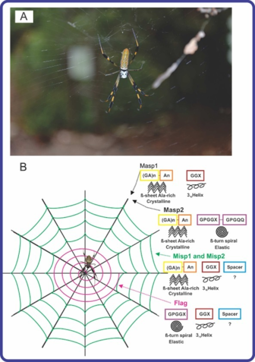 A. An adult female orb weaver spider Nephila clavipes and her web.B. Schematic overview of N. clavipes web composed of three different spider silk proteins and their structures. The coloured boxes indicate the structural motifs in silk proteins. An empty box marked '?' indicates that the secondary structure of the 'spacer' region is unknown. Note: MaSp1 or MaSp2: major ampullate spidroin 1 or 2; MiSp1 and 2: minor ampullate spidroin1 and 2; Flag: flagelliform protein. The photo was taken by Olena and Artem Tokarev in the Florida Keys.