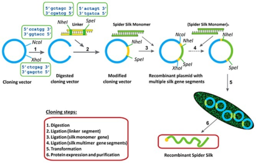 Recombinant DNA approach used to prepare silk-like proteins.
