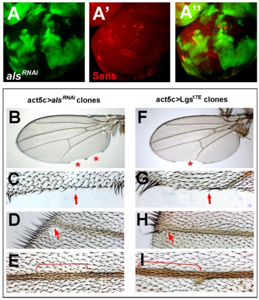 als acts in a cell-autonomous manner.Wg target gene expression (Sens) is affected cell-autonomously upon impaired als function as judged from wing disc analysis at the late L3 stage (A–A″). GFP expression indicates cell clones expressing alsRNAi line oligo310UAS (A and A″). Adult wing phenotypes coincide with cell clones that experienced als depletion, as marked by forked wing hairs (B–E). This is reminiscent of adult wing phenotypes obtained when Wg signaling is impaired (Lgs17E expression) (F–I). Red asterisks (B and F) indicate notches at the wing margin; red arrows (C and G) indicate wing margin notches accompanied by loss of mechano- and sensory bristles; red arrows (D and H) and brackets (E and I) indicate broadened veins.
