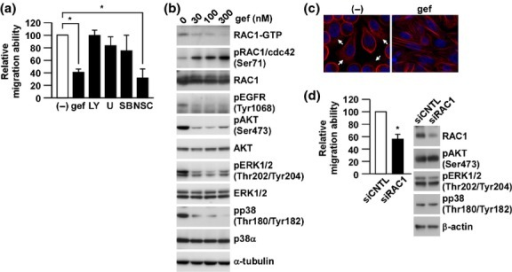 RAC1 is essential for epidermal growth factor receptor (EGFR)-mediated cell migration. (a) PC-9 cells were pretreated with various inhibitors (gef: 300 nM gefitinib, LY: 10 μM LY294002, U: 5 μM U0126, SB: 10 μM SB203580, NSC: 50 μM NSC23766) targeting the downstream molecules of EGFR signaling for 24 h and subjected to migration assay. Relative migration ability was calculated after counting the migrated cells and normalized to the control. Data are the means ± SD of at least three independent experiments. *P < 0.01 by one-way anova followed by the Bonferroni post-hoc test. (b) PC-9 cells were treated with various concentrations of gefitinib (gef) for 24 h and whole cell lysates were subjected to western blotting. RAC1-GTP was detected after pull-down assay. (c) PC-9 cells were treated with 300 nM gefitinib (gef) for 24 h and stained with rhodamine-conjugated phalloidin and DAPI. Images were collected using a confocal fluorescence microscope at 40× magnification. White arrows indicate lamellipodia. (d) PC-9 cells transfected with the indicated siRNA for 72 h were subjected to migration assay or western blotting. Other conditions are similar to (a) or (b). Data are the means ± SD of at least three independent experiments. *P < 0.01 by Student's t-test.