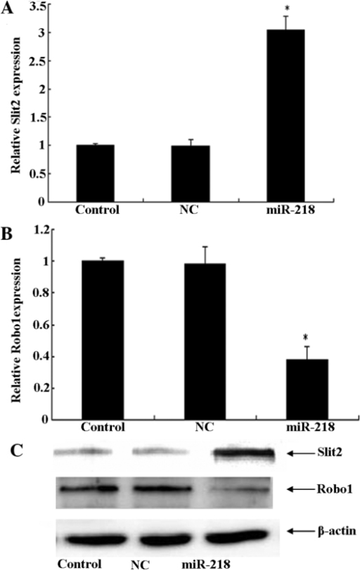 Upregulation of miR-218 reduces Robo1 expression through the inactivation of Slit2-Robo1 signaling. (A and B) The U87 cells were treated with control, NC and miR-218 mimics, and the levels of Robo1 and Slit2 mRNA were measured by quantitative polymerase chain reaction.(C) The level of Robo1 and Slit2 protein expression in the U87 cells was measured by western blot analysis. *P<0. 05. Robo 1, roundabout, axon guidance receptor, homolog 1; Slit2, Slit homolog 2; NC, negative control; miR-218, microRNA 218.