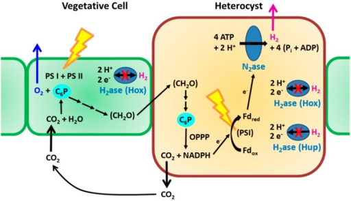 Outline of H2-related metabolic routes in heterocyst-forming cyanobacteria. Vegetative cells synthesize saccharides (CH2O) by ordinary photosynthesis with accompanying evolution of O2 and uptake of CO2. Heterocysts receive the saccharides, and use them (accompanied by CO2 evolution) as the sources of e− for N2ase reaction. For efficient net production of H2, H2ase(s) (uptake H2ase Hup and bidirectional H2ase Hox) have been inactivated. C6P: hexose phosphate, Fdox and Fdred: ferredoxin oxidized and reduced respectively, OPPP: oxidative pentose phosphate pathway, PSI and PSII: photosystem I and II, respectively (adapted from [21] with modification).