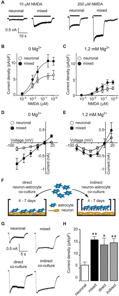 Astrocyte-secreted factor(s) increase neuronal NMDA-evoked currents in a Mg2+- and voltage-independent manner. (A) Representative current traces evoked by 10 and 200 μM NMDA in the presence of 1 μM glycine in neuronal and mixed cultures (0 Mg2+ external solution). (B,C) NMDA dose-response curves showed an increase in the maximal NMDA current density, both in the absence (B) and presence (C) of extracellular Mg2+. The plateau current amplitudes were obtained by averaging current values during 1 s at the end of NMDA application; each data point is an average obtained from 2–15 neurons. (D,E) Current-voltage relationship of steady state (plateau) NMDA-evoked currents recorded in the absence (D) or presence (E) of extracellular Mg2+. Each data point is an average obtained from 3–8 neurons. (F) A schematic diagram of the two neuron-astrocyte co-culture arrangements used for experiments. In direct co-cultures (left), astrocytes were plated directly onto AraC-treated neuronal cultures. In indirect co-cultures, astrocytes were plated on culture inserts that were then placed into wells with AraC-treated neuronal cultures; the insert membrane (1 μm pore size) allowed free exchange of soluble factors but prevented a direct contact between the two cell types. (G) Representative current traces evoked by 100 μM NMDA in the presence of 1 μM glycine in neuronal cultures, mixed cultures, direct neuron-astrocyte co-cultures, and indirect neuron-astrocyte co-cultures. (H) The average NMDA-evoked current density was significantly larger in mixed cultures and astrocyte co-cultures compared to neuronal cultures (*p < 0.05, **p < 0.01; one-way ANOVA with Dunnett post-test).
