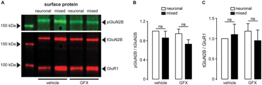 The degree of GluN2B-Ser1303 phosphorylation is not affected by the presence of glia or PKC inhibition. (A) A representative immunoblot of surface-expressed proteins showing GluN2B (tGluN2B), phospho-GluN2B-Ser1303 (pGluN2B), and AMPAR subunit GluR1 (loading control); cultures were treated for 3.5 h with either vehicle (0.1% DMSO) or GFX (5 μM). (B) Quantification of pGluN2B surface expression normalized to tGluN2B; neither the presence of glia nor the inhibition of PKC affected the phosphorylation status of Ser1303 in the C terminus of GluN2B (n = 6; two-way ANOVA with Sidak post-test). (C) Quantification of tGluN2B surface expression normalized to GluR1. In agreement with the data shown in Figure 8, neither the culture condition nor the PKC inhibition affected the cell surface expression of GluN2B subunit (n = 6; two-way ANOVA with Sidak post-test).