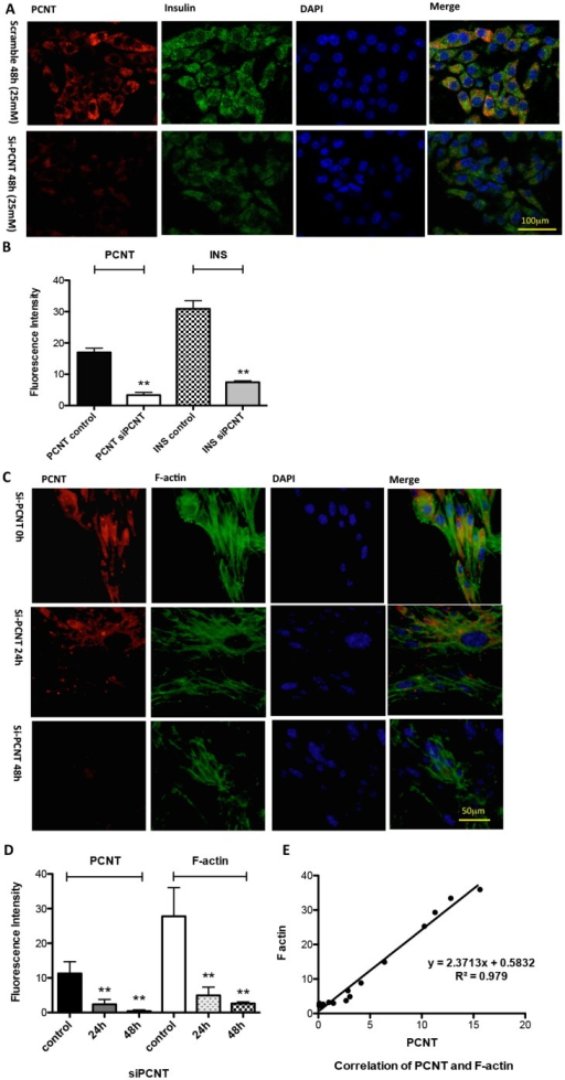 Change in F-actin, PCNT, and insulin expression following PCNT silencing.(A) Confocal microscopy imaging and (B) histogram show that intracellular insulin levels decreased significantly in MIN6 cells transfected with PCNT siRNA, compared with control cells transfected with a scrambled siRNA. (C) Confocal microscopy imaging and (D) histogram show florescence staining changes of F-actin in MIN6 cells after being transfected with a PCNT siRNA for 0 h, 24 h and 48 h. Results are from quintuplicate experiments with duplicate wells. (E) Linear relationship of F-actin and PCNT staining during 48 h of PCNT siRNA interference. Each plot represents one experiment with duplicate wells.