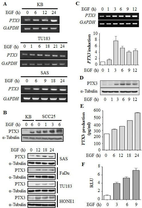 EGF induces transcriptional activation of PTX3 gene expression in head and neck squamous cell carcinoma (HNSCC) cell lines(A) HNSCC cell lines were treated with 50 ng/ml EGF for a period of time as indicated. Expressions of PTX3 and GAPDH mRNA were analyzed by an RT-PCR and examination in 2% agarose gels. (B) Lysates of cells were prepared and subjected to SDS-PAGE and analyzed by Western blotting with antibodies against PTX3 and α-tubulin. (C) KB cells were treated with 50 ng/ml EGF for a period of time as indicated. Expressions of PTX3 and GAPDH mRNA were analyzed by an RT-PCR (upper panel) and a real-time quantitative PCR (lower panel). Relative levels of PTX3 were normalized to GADPH. Values represent the mean ± S.E. of three independent experiments. (D) Lysates of EGF-treated KB cells were prepared and subjected to SDS-PAGE and analyzed by Western blotting with antibodies against PTX3 and α-tubulin. (E) KB cells were treated with 50 ng/ml EGF for a period of time, and then conditioned medium was collected to analyze PTX3 protein by an ELISA. Values represent the mean ± S.E. of three independent experiments. (F) KB cells were transfected with 0.5 μg PTX3 promoter construct by lipofection and then treated with 50 ng/ml EGF for various times as indicated. Luciferase activities and protein concentrations were then determined and normalized. Values represent the mean ± S.E. of three determinations.