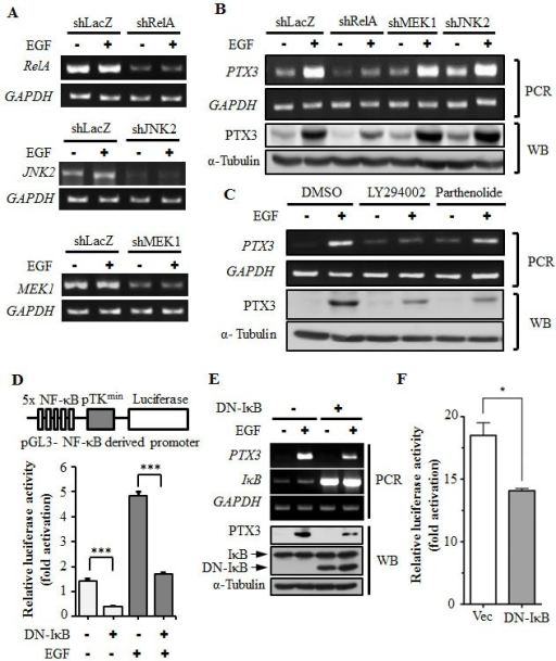 Activation of NF-κB is essential for EGF-induced PTX3 expression(A) RelA-, MEK1-, and JNK2-deficient cell lines were selected by infecting KB cells with a lentivirus containing an expression vector encoding short hairpin (sh)RNA against RelA (shRelA), MEK1 (shMEK1), and JNK2 (shJNK2). Expressions of RelA, MEK1, JNK2, and GAPDH mRNAs were analyzed by an RT-PCR and examined in 2% agarose gels. shLacZ, negative control. (B) shRNA containing cells was treated with 50 ng/ml EGF for 3 h, and expressions of PTX3 mRNA and protein were respectively analyzed by an RT-PCR and Western blotting (WB). shLacZ, negative control. (C) KB cells were treated with 25 μM LY294002, 10 μM parthenolide, or 0.1% DMSO for 1 h, followed by treatment with 50 ng/ml EGF for 3 h. Expressions of PTX3 mRNA and protein were respectively analyzed by an RT-PCR and WB. (D) The construct of the pTK promoter with five repeated NF-κB-binding sites bearing the luciferase gene is presented (upper panel). KB cells were transfected with 0.5 μg pTK-NF-κB promoter, 1 μg dominant negative IκB (DN-IκB) expression vector, and 1 μg control vector by lipofection and then treated with 50 ng/ml EGF for 6 h. Luciferase activities and protein concentrations were then determined and normalized (lower panel). (E) KB cells were transfected with 1 μg DN-IκB expression vector or 1 μg control vector by lipofection and then treated with 50 ng/ml EGF for 6 h before extraction of RNA or lysates. Expressions of PTX3, IκB, GAPDH, and α-tubulin mRNAs and proteins were respectively analyzed by an RT-PCR (PCR) and Western blotting (WB). (F) KB cells were transfected with 0.5 μg PTX3 promoter construct, 1 μg DN-IκB expression vector, or 1 μg control vector by lipofection and then treated with 50 ng/ml EGF for 6 h. Luciferase activities and protein concentrations were then determined and normalized. Values represent the mean ± S.E. of three determinations.