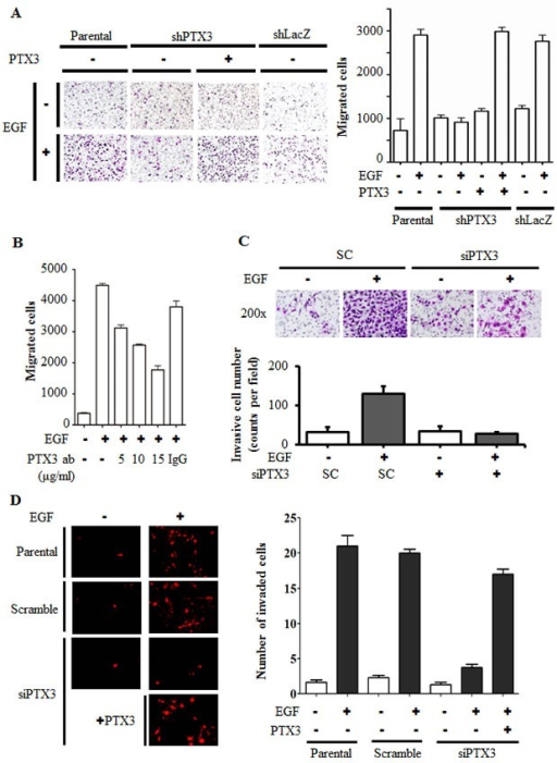"EGF-induced PTX3 enhances tumor migration and invasion(A) The migratory properties of KB cells were analyzed by a transwell assay using Boyden chambers. Parental and shPTX3 KB cells were incubated with or without 50 ng/ml EGF and 250 ng/ml PTX3 recombinant protein in the upper chamber of filter inserts. After incubation for 15 h, non-migratory cells were removed, and migratory cells were fixed and stained by a crystal violet procedure. Original magnification, ×200 (left panel). Migrating cells were counted (right panel). Values represent the mean ± S.E. of three determinations. shLacZ, negative control. (B) HONE1 cells were treated with various concentrations of anti-PTX3 antibodies (ab), 15 μg/ml immunoglobulin G (IgG) and 50 ng/ml EGF for 15 h. Migratory cells were fixed and stained by a crystal violet procedure. Migrating cells were counted. Values represent the mean ± S.E. of three determinations. (C) The invasive properties of HONE1 cells were examined using invasion assay as described in ""Materials and methods"". Cells were transfected with 30 nM PTX3 siRNA oligonucleotides and scrambled oligonucleotides (SC) by lipofection. After 50 ng/ml EGF treatment for 48 h, the non-invasive cells were removed and invasive cells were fixed and stained by crystal violet procedure. The invasive images were examined using a microscope (upper panel). The number of invasion cells was counted as shown in lower panel. Values represent the mean ± S.E. of three determinations. (D) Endothelial cells were grown to form a monolayer on the bottom of a thick layer of extracellular matrix proteins to mimic intravasation in transendothelial invasion assays. HONE1 cells were transfected with 30 nM PTX3 siRNA oligonucleotides by lipofection. After 50 ng/ml EGF treatment for 6 h and stained with DiI, cells were loaded in the upper chamber of filter inserts. After incubation for 48 h, non-invasive cells were removed. The invasive images were examined using a microscope (left panel). Original magnification, ×200. Invasive cells were counted (right panel). Values represent the mean ± S.E. of three determinations."
