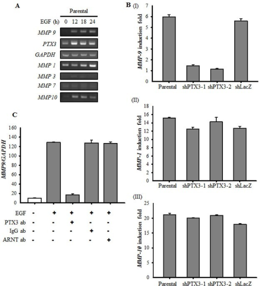 EGF-induced PTX3 regulates the expression of MMP9(A) HONE1 cells were treated with 50 ng/ml EGF for a period of time as indicated. Expressions of PTX3, MMP1, MMP3, MMP7, MMP9, MMP10 and GAPDH mRNA were analyzed by RT-PCR and examined in 2% agarose gel. (B) Parental and shPTX3 HONE1 cells were treated with 50 ng/ml EGF for 6 h. The expression of MMP9 (I), MMP1 (II) and MMP10 (III) mRNA was also analyzed by Real-time quantitative PCR. Relative levels of MMPs were normalized by GADPH. Error bars indicate SEM of three independent experiments. shLacZ, negative control. (C) NONE1 cells were treated with 15 μg/ml anti-PTX3 antibodies, 15 μg/ml immunoglobulin G (IgG), 15 μg/ml anti-aryl hydrocarbon receptor nuclear translocator (ARNT) antibodies and 50 ng/ml EGF for 9 h. The expression of MMP9 mRNA was also analyzed by Real-time quantitative PCR. Relative levels of MMP9 were normalized by GADPH. Error bars indicate SEM of three independent experiments.