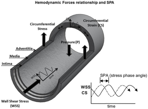 Simultaneous WSS and CS on EC are characterized by the SPA.Blood flow in the axial direction induces wall shear stress (WSS) and the changes in pressure during the cardiac cycle induce circumferential strain and circumferential stress (CS) on the EC lining the wall of the blood vessel. Due to impedance of the distal circulation, local inertial effects associated with flow in larger vessels and arterial geometry, there is a time lag between WSS and CS characterized by the stress phase angle—SPA = φ(CS-WSS)