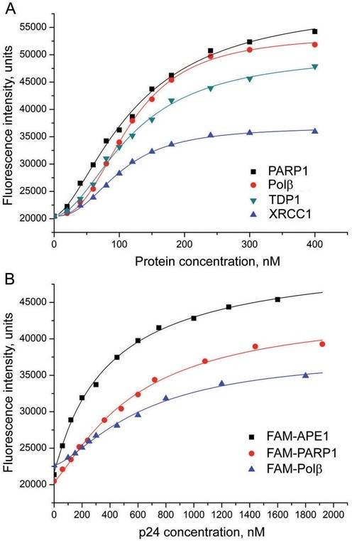 Fluorescence titration of FAM-PARP1 with PARP1, Polβ, XRCC1 and TDP1 (A), and of the FAM-labeled APE1, PARP1 and Polβ with p24 protein (B). The FAM-labeled protein (40 nM) was excited at 485 nm in the absence or presence of increasing concentrations of the binding partner and the relative fluorescence intensities were monitored at 520 nm. Curves show the best fits of the four-parameter equation (with R2 values exceeding 0.98).