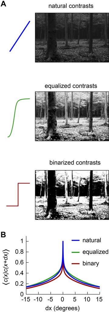Front-end nonlinearities modify the correlations present in natural scenes.(A) Example images with no front-end nonlinearity (top), with an equalizing front-end nonlinearity (middle), and with a binarizing front-end nonlinearity (bottom). (B) The covariance between contrasts at 2 horizontally separated points is plotted as a function of distance between the points. The binary nonlinearity attenuated spatial correlations.DOI:http://dx.doi.org/10.7554/eLife.09123.006