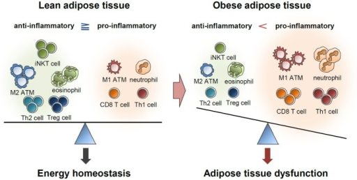Balance of immune responses in the regulation of adipose tissue function. Lean adipose tissue harbors various anti-inflammatory immune cells, such as eosinophils, M2 macrophages, Th2 cells, iNKT cells, and Treg cells. These immune cells help in maintaining insulin sensitivity and store extra energy in the form of TGs. In obese adipose tissue, the numbers of pro-inflammatory immune cells, including neutrophils, M1 macrophages, mast cells, Th1 cells, and CD8 T cells, are greatly elevated. Simultaneously reduced number of anti-inflammatory immune cells accelerates pro-inflammatory response and adipose tissue dysfunction.