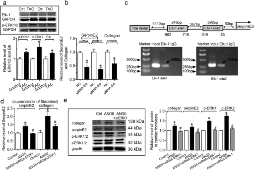 ERK1/2 signal pathway via Elk1 in regulating serpinE2.(a) The change of p-ERK1/2 and Elk1 in TAC mouse heart. n = 6, *P < 0.05 vs. control. Full-length blots/gels are presented in Supplementary Figure 13 and 14. (b) The mRNA level of serpinE2 was decreased by transfection with siRNA Elk in CFs; The level of serpinE2 was decreased by transfection with siRNA Elk in the supernatants of fibroblast; The level of collagen was decreased by transfection with siRNA Elk in the supernatants of fibroblast. n = 6, *P < 0.05 vs. control. (c) ChIP testing in vivo binding of Elk1 to promoter of Rattus norvegicus genes of serpin family E member 2 (SerpinE2). Top: Schematic representation of the two upstream region of the serpinE2. Bottom: PCR products of Elk1-binding sites following immunoprecipitation with anti- Elk1 antibody. The anti-IgG antibody and H2O treatment were used as negative control. The anti- Elk1 antibody was used to target specific immunoprecipitation. ChIP analysis of Elk1 binding to the promoter between-962 and-716 (PCR products 246 bp). Elk1 binding to target Elk1 site 1 activates serpinE2 promoter activity. ChIP analysis of in vivo Elk1 site2 binding to the promoter between -349 and -53 bp (PCR products 296 bp). ChIP assay showed that Elk1 binding to this target Elk1 site 2 also did activate serpinE2 promoter activity. (d) Effect of knockdown of ERK1 on serpinE2 and the collagen content in supernatants of fibroblasts inducd by ANG-II. n = 6, *P < 0.05 vs. control, #P < 0.05 vs. ANG-II. (e) Effect of knockdown of ERK1 on serpinE2, collagen and p-ERK1/2 in cardiac fibroblasts inducd by ANG-II. n = 6, *P < 0.05 vs. control, #P < 0.05 vs. ANG-II. Full-length blots/gels are presented in Supplementary Figure 15.