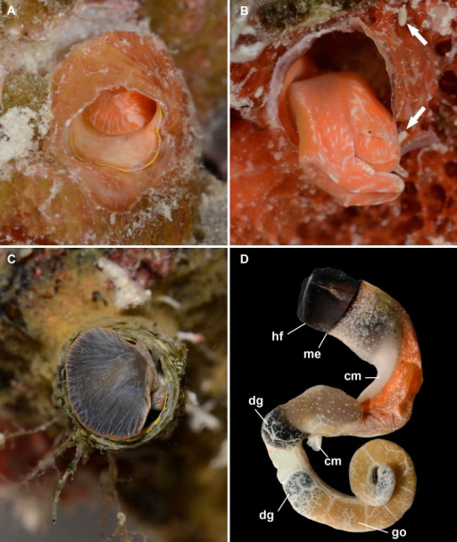 External morphology and living coloration of Thylacodes vandyensis n. sp.(A) (paratype 1) Orange morph, with yellow pattern on mantle edge; oblique view into shell aperture with animal slightly withdrawn but keeping the mantle extended; on Hyotissa mcgintyi (diameter of shell aperture, 4.5 mm). (B) (paratype 2) Orange morph, without yellow pattern on mantle edge; right lateral view of extended head-foot; note upper set of cephalic tentacles (with one black eye visible) and lower set of pedal tentacles; elongated-ovoid fecal pallets (arrows) near the extremely thin wall of the feeding tube; on Spondylus americanus densely covered by a red encrusting sponge (Mycale sp.) (diameter of shell aperture, 4.5 mm). (C) (paratype 3) Grey morph, with yellow pattern on mantle edge; animal slightly protruding from feeding tube, showing entry to mantle cavity; on Hyotissa mcgintyi (diameter of shell aperture, 6.5 mm). (D) Grey morph, without yellow pattern on mantle edge (me); whole male animal removed from shell; note near-black head-foot (hf), orange-lined extent of mantle cavity, white columellar muscle (cm), olive-black digestive gland (dg), and tan gonad (go) (FMNH 344614; from about 29 m depth, September 2016; same animal as in Fig. 5B; largest diameter, at mantle edge, 6.0 mm).