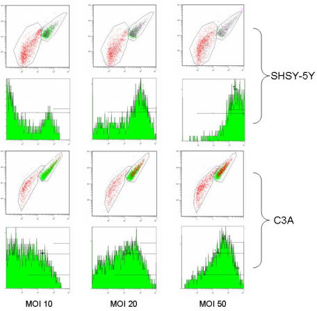 Transduction of SHSY-5Y and C3A cells 48 hours post infection with recombinant adenovirus expressing green fluorescent protein. Flow cytometry scatter plots of SHSY-5Y and C3A cells infected at MOI 10, 20, and 50; cells corresponding to the upper areas of the respective scatterplot (upper panels) were analysed for transduction efficiency by GFP expression (lower panels).
