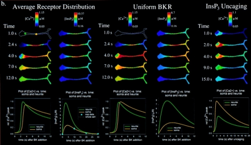 Modeling of observed calcium dynamics in N1E-115 neuroblastoma cells. a, Distributions of BKR and ER (SERCA2/InsP31-R) used for modeling. Cells were stained for antibodies against BKR, SERCA2, InsP31-R, and ER. Relative fluorescence intensities were measured on the confocal microscope and adjusted for convolution artifacts (Fink et al. 1998). Intensities were scaled such that the left half soma is equal to 1.0, and plotted (mean ± SEM; n = 20 cells) for six representative regions of the cell. There was no statistical difference (ANOVA; P > 0.05) between the distributions of InsP31-R, SERCA2, and ER, so they were plotted together. b, Simulation results for [Ca2+] and [InsP3] in N1E-115 neuroblastoma cells (as modeled in a). Simulations were run for three conditions: global application of a saturating concentration of BK with the average receptor and ER distribution as shown in a; global application of a saturating concentration of BK with average ER (and InsP3-R and SERCA) distributions, but with a uniform plasma membrane BKR distribution; and a step increase of [InsP3] to 1.5 μM uniformly throughout the cytosol analogous to the uncaging experiment in Fig. 1 b. [InsP3] and [Ca2+] have been pseudocolor scaled according to the color bar at the top of each column. Time is seconds after the simulated stimulus event (either BK exposure or InsP3 uncaging). Below each column are plots of [InsP3] or [Ca2+] versus time for a point in the soma or the neurite (indicated by the yellow or green dots on the 1.0 s image of the first column). For the [InsP3] versus time plot for the average receptor distribution experiment, also plotted are the [InsP3] values indicative of the average [InsP3] for the whole cell (dotted white line) and the experimental [InsP3] values determined with radioligand binding as shown in Fig. 2 d. This plot is taken to 30 s, whereas the other plots are all to 12 s.
