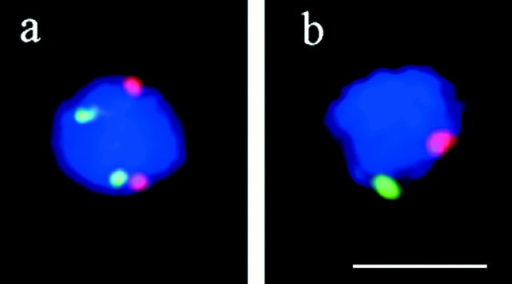 Two-color FISH with cosmid probes m (III, green) and p (IX, red) to spread nuclei of SK1 meiocytes. Nuclei were taken at t = 180 min. (a) Spread nucleus with cosmid signals apart. (b) Meiocyte with both pairs of homologous cosmid signals paired. Therefore, the signals appear enlarged. Bar, 5 μm.
