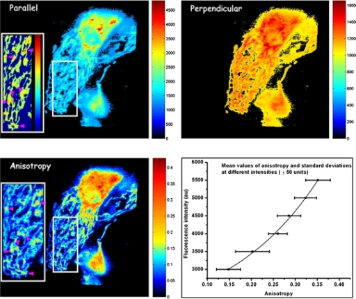 Distribution of polarization-resolved fluorescence intensities and corresponding anisotropy values of DASPMI-stained XTH2 cells. The very distinct high anisotropy at high-intensity regions (inserts) inside several individual mitochondria is apparent. Such submitochondrial zones of higher membrane potential are known to exist from previous studies in XTH2 cells. The plot of mean anisotropy values and corresponding pixel fluorescence intensities (± 50 units) were fitted to an exponential function of the form