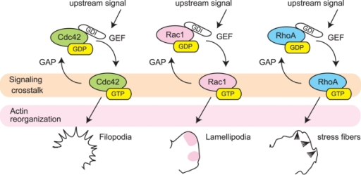 GTPase cascades involved in morphological regulation and cytoskeleton organization.Various upstream signals trigger the activation of Cdc42, Rac, and Rho GTPases and induce morphological and cytoskeletal changes such as formation of filopodia, lamellipodia, and stress fibers, respectively. The ratio of the inactive GDP-bound state to active GTP-bound state is regulated by guanine nucleotide exchange factors (GEFs) and the GTPase-activating proteins (GAPs). Many studies have shown crosstalk between these GTPases; however, direct links between these GTPases are still to be clarified.