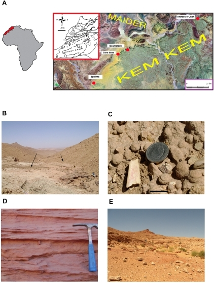 Pterosaur localities in the Kem Kem region of South Eastern Morocco.A) Map of Africa and satellite map of the Hamada Kem Kem and Maider region showing principal pterosaur localities. Inset: location of Kem Kem in Morocco. B) Boumerade locality (30° 32 ′49.00″ N 4° 42′ 55.45″ E), which includes most of the lower unit of the Kem Kem beds and just over one third of the upper unit (Sereno et al. 1996). Fossils were collected from areas marked by arrows, consisting of a sandstone matrix in a ∼2 m thick horizon. C) Pterosaur jaw tip found at Boumerade, scale bar 2 cm. D) Typical red sandstone cross bedding, found at the Aferdou N'Chaft (30° 53′ 51.23″ N 3° 52′ 13.42″) locality for example. E) Surface collecting in the sandstone outcrops of the Gara Sbaa locality (30° 30′ 40.64″ N 4° 50 42.87″ E).