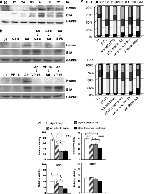 (a) Sequential expression of hexon, E1A and GAPDH in TE-11 cells after Ad-delE1B55 infection (MOI=10). (b) Expression of hexon, E1A and GAPDH in TE-11 cells treated with three different schedules. Ad → 5-FU or VP-16, Ad-delE1B55 (MOI=10, day 1) followed by 5-FU (1.25 μ, day 2) or VP-16 (1.25 μ, day 2); 5-FU or VP-16 → Ad, 5-FU or VP-16 (day 1) followed by Ad-delE1B55 (day 2); Ad+5-FU or VP-16, Ad-delE1B55 plus 5-FU or VP-16 at the same time (day 1). The cells treated with the agent only or infected with the Ad only were also tested. Cell lysates were prepared 2 days after Ad-delE1B55 infection. (c) TE-1 or TE-11 cells were treated with Ad-delE1B55 (MOI=10) and/or 5-FU (10 μ) according to the schedule indicated in (b), and cell cycle was analyzed on day 4 (TE-1) or day 6 (TE-11). Respective cell populations showed the average of three samples. (d) Cytotoxic activity of the combination of Ad-delE1B55 (MOI=10) and anticancer agents (5-FU, 10 μ; MMC, 0.625 μ; VP-16, 2.5 μ; CDDP, 10 μ) to TE-1 cells with different treatment schedules. Asterisks show P<0.05.