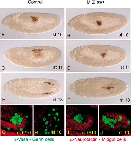 "The Phenotype of M− Z− tre1 Mutant EmbryosAnterior is left in all figures.(A–F) Embryos are stained with anti-Vasa (brown) to mark germ cells. (A–D) Lateral views. (E–F) Top views. (A), (C), and (E) are wild-type embryos. (B), (D), and (F) are tre1 mutant embryos. Wild-type germ cells migrate out of the PMG at stage 10 (A) and migrate toward mesoderm at stage 11 (C) and finally to the gonad at stage 13 (E), but in tre1 mutant embryos, germ cells fail to leave the PMG ([B] shows stage 10 and [D] shows stage 11) and are mostly found ""clumped"" together in the middle of the gut at stage 13 (F).(G–J) High magnification view of wild-type (G and H) and tre1 mutant (I and J) embryos stained with anti-Neurotactin (red) to mark cell membranes of midgut epithelium and germ cell-specific anti-Vasa (green). Wild-type germ cells are migrating out of the PMG at early stage 10 (G) and are outside of the PMG and thus at a different optical plane than PMG at late stage 10 (H). tre1 germ cells, in contrast, do not migrate out of the PMG at stage 9/10 (I) and are still left inside the PMG and thus at the same optical level as the PMG cells at late stage 10 (J). Punctate appearance of anti-Vasa staining in tre mutant germ cells is likely due to heat fixation protocol used as it can also be observed in wild-type germ cells (data not shown)."