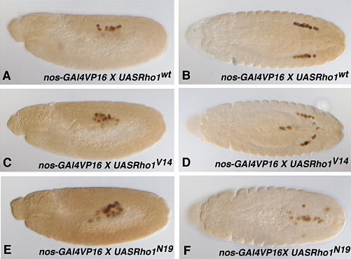 "Rho GTPase Is Required for Transepithelial Migration of Germ Cells(A–F) Wild-type, constitutively active, and dominant-negative Rho1 constructs under UAS promoter control were expressed in germ cells using the nos-GAL4 driver. Embryos are stained with anti-Vasa (brown) to mark germ cells. Anterior is left. Embryos in (A), (C), and (E) are lateral views at stage 11. Embryos in (B), (D), and (F) are top views, stage 13.(A and B) Germ cells expressing wild-type Rho1 (Rho1wt) migrate normally.(C and D) Germ cells expressing constitutively active Rho1 (Rho1V14) successfully transmigrated the PMG (C), but some germ cells fail to move from the PMG into the mesoderm and remain associated with the PMG (D).(E and F) Germ cells expressing dominant-negative Rho1 (Rho1N19) are still inside the PMG at stage 11 (E), and most germ cells remain ""clumped"" inside the gut (F)."