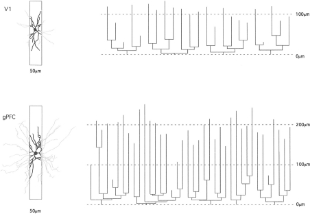 Schematic illustrating how the study of pyramidal cell morphology in the transverse plane may bias for uniformity in structure. Illustrated are two cells sampled from the primary visual area (V1) and granular prefrontal cortex (gPFC) of the macaque monkey. At left are the basal dendritic trees of the two cells as seen in the tangential plane. In black is the part of the dendritic tree that would be seen in a 50-μm transverse section (of the type used in many Golgi studies). The portion of the dendrites extending beyond the section is illustrated in gray. Note the relative similarity in structure of the part of the dendritic tree revealed in the 50-μm transverse sections. At right are illustrated the dendrograms of each of the two cells, which resulted from reconstruction of the complete basal dendritic tree as seen in the tangential plane. Based on our observations, transverse sections would have to be of the order of 1 mm thick to include all dendrites (e.g., human temporal lobe; Elston et al., 2001).