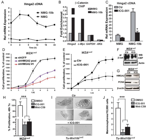 Wnt10b induces Hmga2-dependent proliferation via β-catenin in mouse mammary epithelial and tumour cellsTime course experiment to analyse Hmga2 expression in parental NMuMG (NMG) cells and NMuMG cells overexpressing Wnt10b (NMG-10b) after release from growth arrest (determined by qt-PCR). Error bars represent the means and the standard deviations from three independent experiments.Assessment of enrichment of β-catenin at the Hmga2, c-Myc and Gapdh promoters by chromatin immunoprecipitation (ChIP) 8 h after release from growth arrest. An upstream −6 Kb element of the Hmga2 chromosomal ORF-loci devoid of WRE sites was used as negative control.Forty-eight hours treatment of NMG and NMG-10b cells with the Wnt/β-catenin inhibitor ICG-001 (10 µM in 1% DMSO) leads to decreased Hmga2 expression, as determined by qt-PCR. Error bars represent the means and the standard deviations from three independent experiments; *p-value = 0.04 versus untreated sample (Student's t-test).shRNA-Mediated knockdown of Hmga2 leads to attenuated growth of WZALacZ tumour cells. Shown are two different shHmga2 clones compared to a control shGFP clone. Error bars represent the means and the standard deviations from three independent experiments.Attenuated proliferation of WZALacZ tumour cells upon treatment with ICG-001 (10 µM in 1% DMSO). Error bars represent the means and the standard deviations from three independent experiments.Immunoprecipitation and Western blot analysis verifying decreased interaction of β-catenin and CBP after ICG-001 treatment of WZALacZ tumour cells.Decreased expression of HMGA2 and PCNA in ICG-001-treated WZALacZ tumour cells, as determined by immunoblotting analysis.Quantification of proliferation of WZALacZ cells upon treatment with the Wnt pathway inhibitors ICG-001 or Wnt-C59 compared to vehicle control (DMSO). Error bars represent the means and the standard deviations from three independent experiments; ***p-value = 0.0008 (ANOVA).Images of MSA from primary Wnt10bLacZ mammary tumour cells after control (DMSO, upper panel) or ICG-001 (lower panel) treatment.MSA formation efficiency of primary Wnt10bLacZ mammary tumour cells after control (DMSO), ICG-001, and Wnt-C59 treatment. Error bars represent the means and the standard deviations from 12 independent experiments; ***p value = 0.0006 (ANOVA). p Values of <0.05 were considered to be statistically significant (C, H, J).