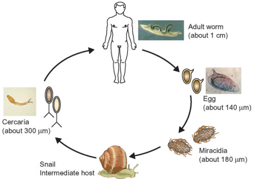 The schistosome life cycle. Schistosomes reproduce asexually in freshwater snails; a larval form, the cercaria, is released from the snail and can burrow into the skin of the definitive host, man. In humans, schistosomes migrate to the bloodstream where they mature into adult worms. Eggs produced by the female worm are released into the environment where they hatch into a second larval form, the miracidia, which can infect the snail. Adapted and reproduced with permission from [28].