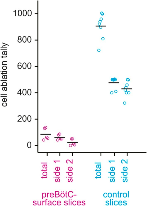 Cumulative tally of laser ablations for preBötC-surface slices (magenta) and control slices whose surface exposes the ventral respiratory column, not preBötC (cyan).The total tally and the individual side tallies are shown for each preparation. Black bars show the mean. For preBötC-surface slices, the tally was always lower on the side that was being lesioned when the rhythm stopped because rhythm cessation halted the ablation sequence.DOI:http://dx.doi.org/10.7554/eLife.03427.009