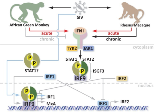 Schematic of IFN and Mx protein regulation in acute and chronic SIV infection models.
